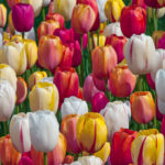 French Blend Tulip